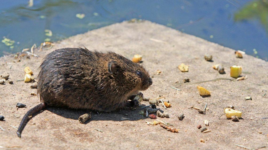 8 étapes à suivre pour empêcher les rats d'entrer dans votre maison